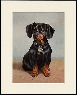 Dachshund Seated Little Dog Lovely Print Mounted Ready To Frame