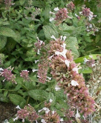 ♫ CHATAIRE 'Sweet Dreams' - Nepeta subsessilis ♫ Graines ♫ COLLECTION Aromatique