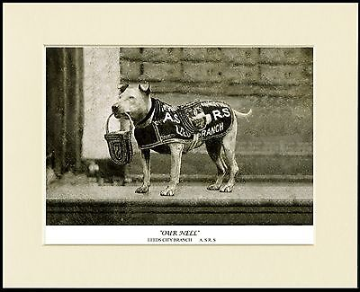 Staffordshire Bull Terrier Collecting Dog Print Mounted Ready To Frame