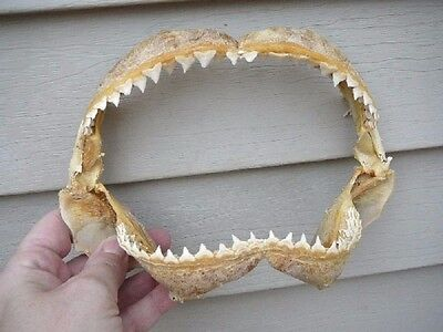 "(sj30-230) 8"" BULL SHARK jaw jaws teeth taxidermy biology science I love sharks"