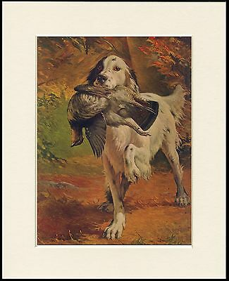 English Setter Carrying Bird Great Dog Print Mounted Ready To Frame