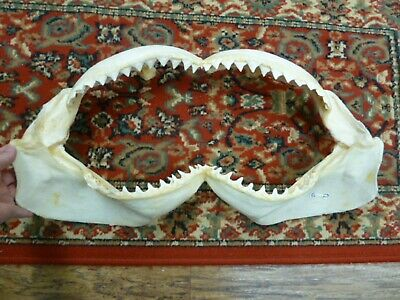 "(sj30-53) 22-1/8"" BULL SHARK jaw jaws teeth taxidermy Ichthyology I love sharks"