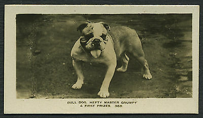 ENGLISH BULLDOG PATTREIOUX ANIMALS & SCENES NAMED DOG CIGARETTE CARD FROM 1925