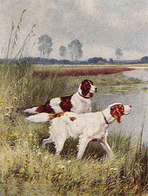 Irish Red And White Setter Dog Greetings Note Card Two Dogs By Water