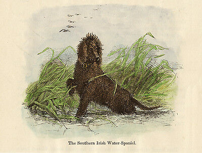Irish Water Spaniel Charming Dog Greetings Note Card Lovely Dog In Water