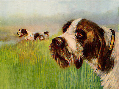 Italian Spinone Lovely Dog Greetings Note Card Beautiful Dogs In The Field
