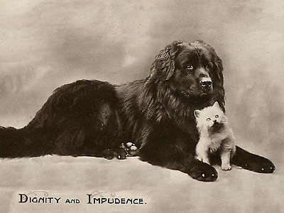 Newfoundland And Cute White Kitten Lovely Dog Greetings Note Card