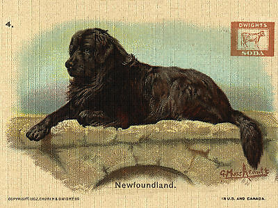 Newfoundland Old Soda Advert On Great Dog Greetings Note Card