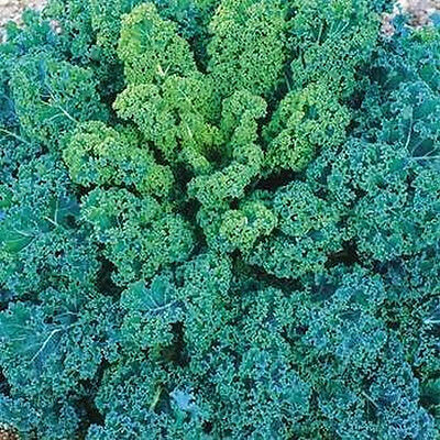 Blue Curled Vates Scotch Kale..Beautiful and So Delicious!!!---FREE SHIPPING!!!!