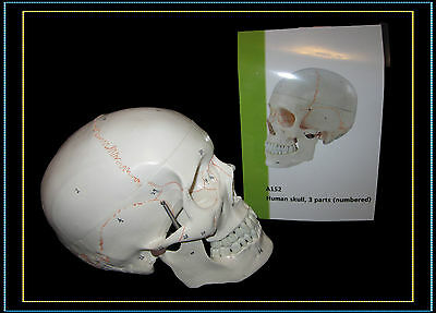 Professional Full Size Classic Skull Model-three parts with Numbered and Guide