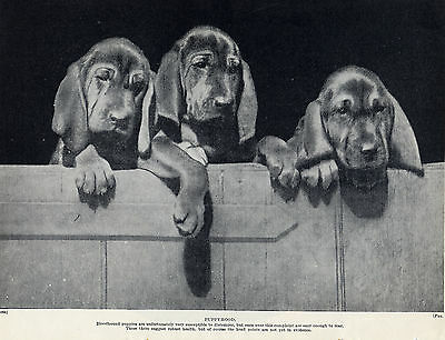 Bloodhound Three Puppies Lovely Original Dog Print Page From 1934