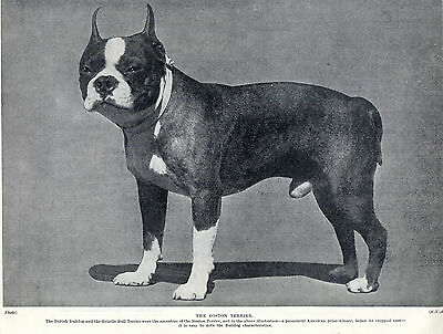 Boston Terrier American Prize Winner Lovely Original Dog Print Page From 1934