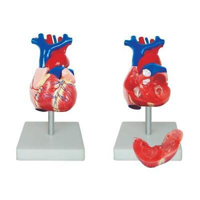 66fit Life Size Heart Model - Anatomical Teaching Training Aid