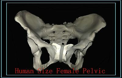 Professional Life Size FEMALE Pelvic Skeleton, Female Pelvis Skeleton Model