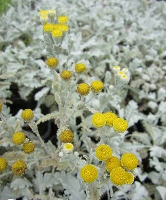 ♫ TANAISIE de SIBERIE -Tanacetum haradjanii ♫ Graines ♫ COLLECTION Aromatique ♫