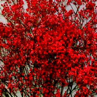 Beauitiful Rare Bright Red Baby's Breath!  20 Seeds ! Comb.S/H! SEE OUR STORE!