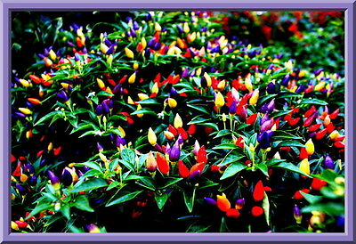 Chinese Ornamental Pepper Seeds -  SEE OUR STORE OVER 900 ITEMS! COMBINED S/H