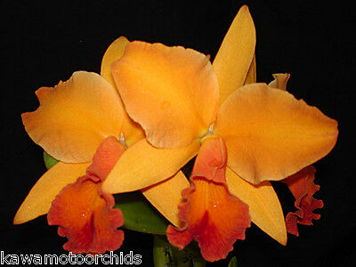 BIN-2)plants- Pot. Tropical Orange 'Apricosa' New Release! Fragrant! Attractive