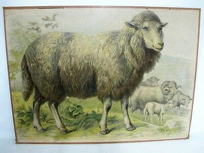 French School Chart Of Sheep C1950'S