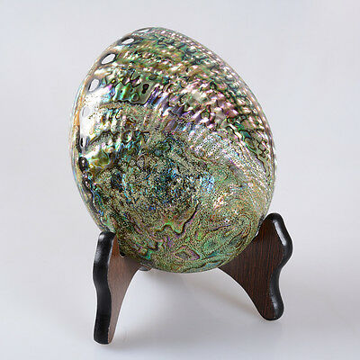 ss15546 165mm Beautiful Natural Rainbow Abalone Seashell with stand