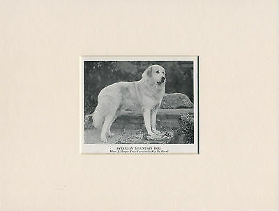 NAMED PYRENEAN MOUNTAIN DOG OLD 1950'S PRINT MOUNTED READY TO FRAME