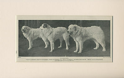 PYRENEAN MOUNTAIN DOG THREE NAMED DOGS OLD 1930'S PRINT MOUNTED READY TO FRAME