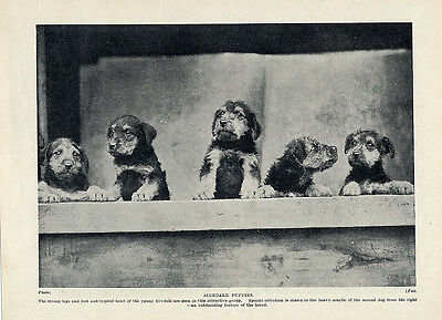Airedale Terrier Original Vintage Dog Print Page 1934 Lovely Group Of Puppies