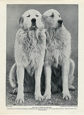 Great Pyrenees Pyrenean Mountain Dog A Brace Of Dogs Old 1934 Print