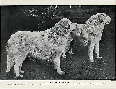 GREAT PYRENEES PYRENEAN MOUNTAIN NAMED CHAMPION DOGS OLD 1934 PRINT