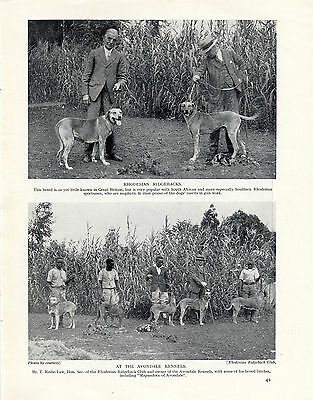 Rhodesian Ridgeback Dogs From The Avondale Kennels In Africa Old 1934 Dog Print