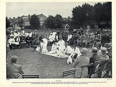 Sealyham Terrier Dogs Being Judged At The Terrier Show Old 1934 Dog Print