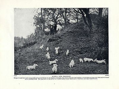 Sealyham Terrier Dogs Hunting Old 1934 Dog Print