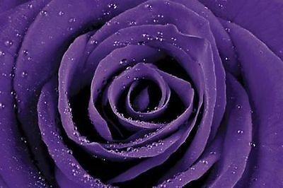 PURPLE ROSE - CLOSE UP POSTER 24x36 - FLOWER 1593