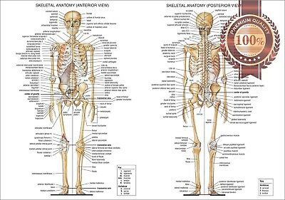New Anatomical Diagram Chart Guide Skeleton Human Anatomy Print Premium Poster