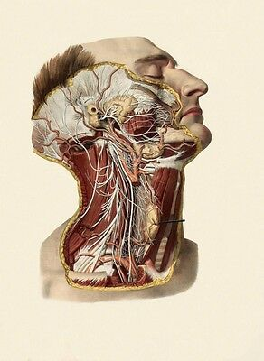 Antique Medical Dissection Of Head & Neck A3 Re Print