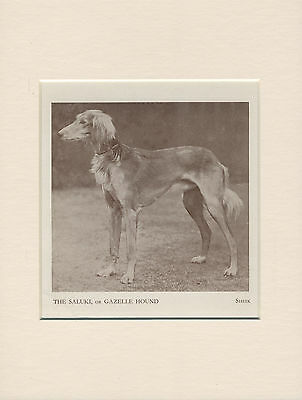 Saluki Named Dog Old 1930's Print Mounted Ready To Frame