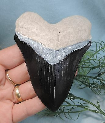 4 3/16'' Bone Valley Megalodon Tooth Replica, Painted!/fossil Sharks Teeth