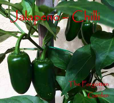 Chilli Seed Jalapeno 25 Seeds Heirloom Vegetable Garden Chili Chile Mild