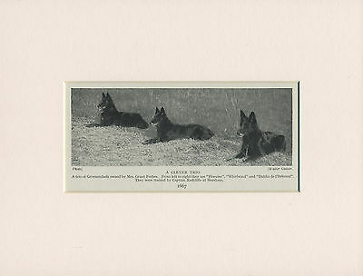 Belgian Shepherd Dog Three Groenendael Named Dogs Old 1930's Print Ready Mounted