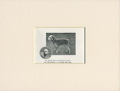 Bedlington Terrier Old Named Dog Print From 1922 Ready Mounted