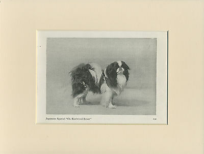 Japanese Chin Old 1940's Named Champion Dog Print Mounted Ready To Frame