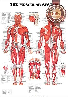 New The Muscular System Anatomical Diagram Chart Muscles Print - Premium Poster