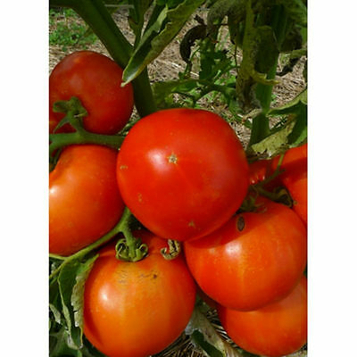 Mountain Spring Tomato Seeds - EARLY FRUIT- GREAT TASTE! COMB. S/H SEE OUR STORE