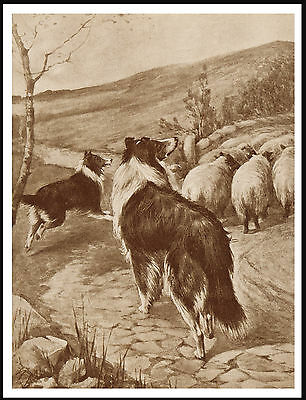 Border Collie Dogs Herding Sheep Lovely Vintage Style Dog Print Poster