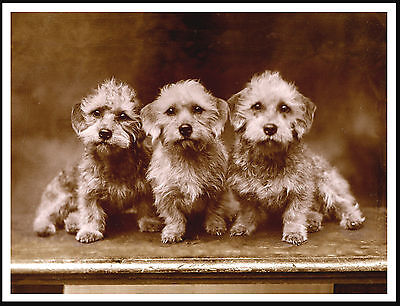 Dandie Dinmont Three Dogs Sat In A Row Lovely Sepia Dog Print Poster