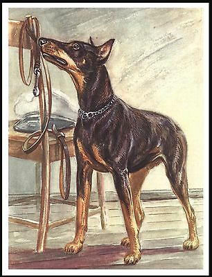Doberman Pinscher Looking At His Lead Hoping For A Walk Dog Art Print Poster