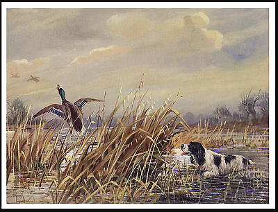 English Springer Spaniel At Work In Marshland Scene Lovely Dog Print Poster