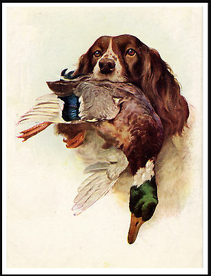 English Springer Spaniel Dog With Mallard Great Dog Head Study Print Poster