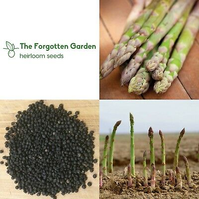 Asparagus Seed Connovers Colossal 25 Seeds Heirloom Vegetable Garden Nutritious