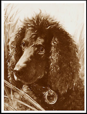 Irish Water Spaniel Lovely Old Style Sepia Head Study On Dog Print Poster